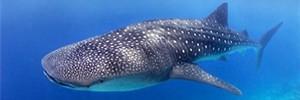 Джибути, фридайвинг с китовыми акулами