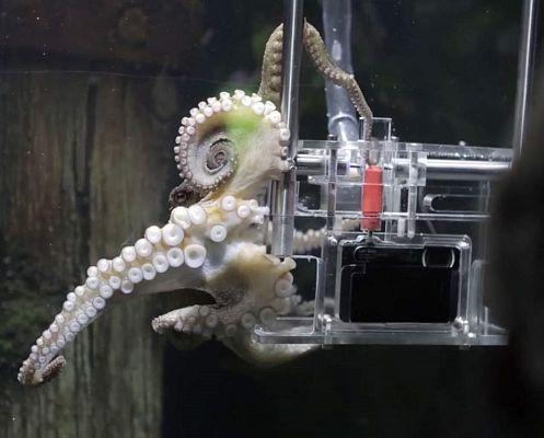 В океанариуме Окленда осьминога научили фотографировать.