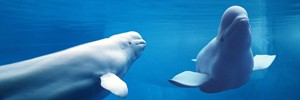 Белухи – индикатор экосистемы Арктики