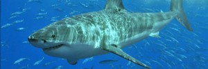На Гавайях акула напала на снорклера