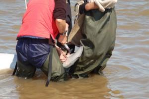Пойманные киты пройдут ветеринарное обследование, у них возьмут пробы крови и образцы для проведения исследований