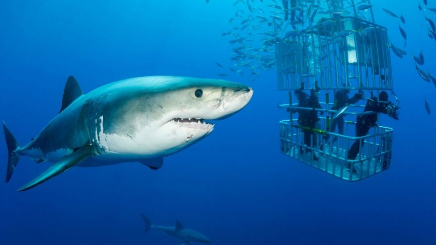 Дайвинг с акулами - лучшие места. Гуадалупе, Мексика.