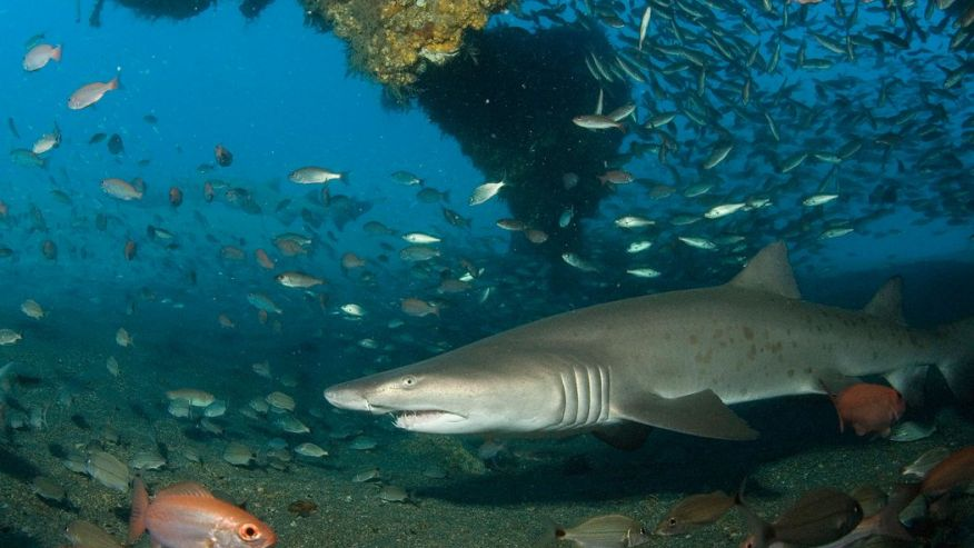 Дайвинг с акулами - лучшие места. Уилмингтон, Северная Каролина, США.