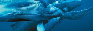 Горбатые киты. Медовый месяц на далеком Тонга