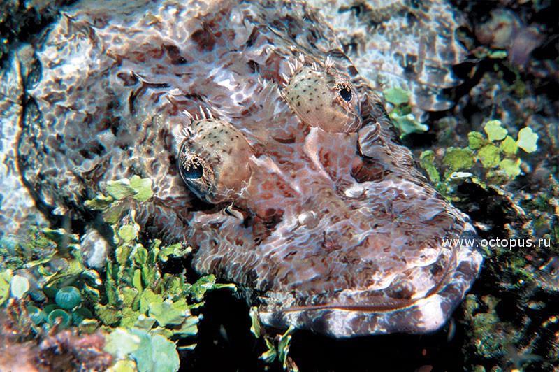 Рыба-крокодил. Соломоновы острова, Тихий океан