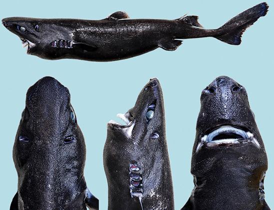 Обнаружен новый вид акул