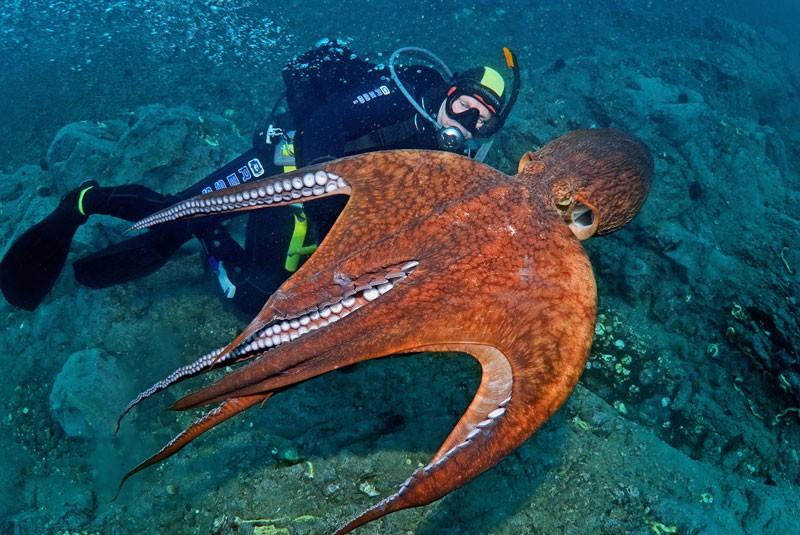 Дайверы Приморского края хотят занести осьминога Дофлейна в Красную книгу