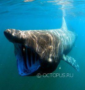 569px-cetorhinus_maximus_by_greg_skomal