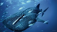 kitovaya-akula-i-ryby